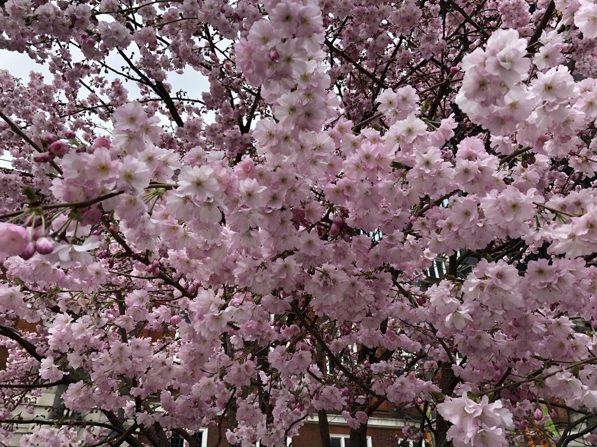 ロンドン 桜 お花見