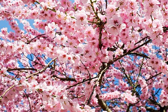 桜が憂鬱な経理マンは約7割