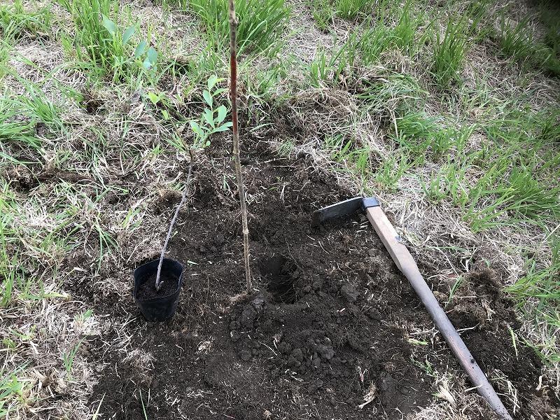 ブルーベリーの植え付けの画像3