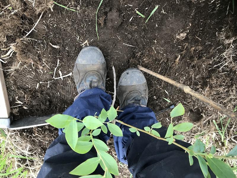 ブルーベリーの植え付けの画像5