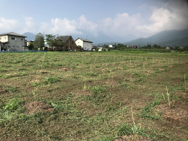ブルーベリー畑の画像2