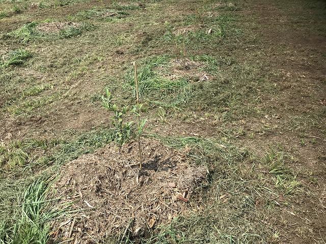 ブルーベリー苗の画像5
