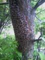 [eco]分蜂