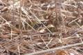 がまの穂の綿毛を飛ばすシジュウカラ   2013/2/11 自然教育園