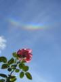 環天頂アークを見上げるバラ