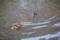 オシドリ 明治神宮御苑から北池