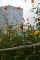キバナコスモスと汐留を見上げるシオカラトンボ 浜離宮庭園