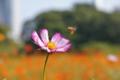 コスモスを目指すミツバチ
