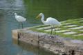 魚を捕るダイサギ 浜離宮恩賜庭園