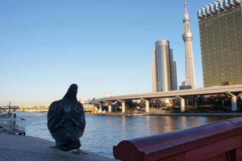 ハトと月見 2015/1/3 吾妻橋からハトとともに月を眺める
