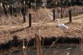 ダイサギが舞う その3 自然教育園