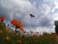 キバナコスモスに飛んできたミツバチ 浜離宮恩賜庭園