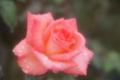 雨に濡れた薔薇 プリンセス・サヤコ   生田緑地ばら苑にて