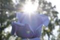 太陽と薔薇・ブルー・ムーンの出会い  11/3 神代植物公園にて