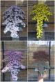神代植物公園菊花大会 静岡型懸崖作り