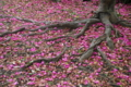 地面を彩る寒椿 皇居東御苑