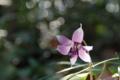 光と遊ぶカタクリの花