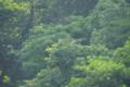 アオサギの飛翔 明治神宮南池