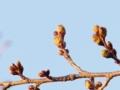 遅い春 「桜のつぼみ」