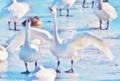 冬を唄う白鳥