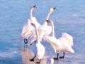陽気に唄う白鳥