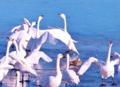 白鳥のオーケストラ