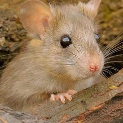 ストレスサインは、ネズミから