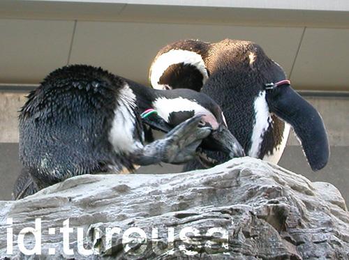 ケープペンギンをパパラッチ!
