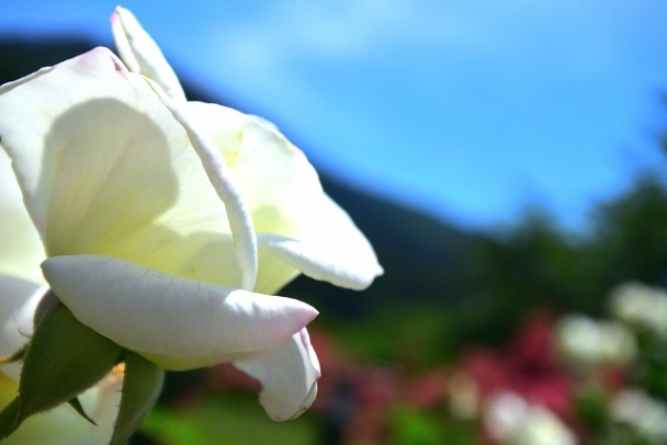 セーラームーン 月影の騎士 台詞 セリフ くさい 575 川柳 つきかげのないと R 魔界樹 エイル アン 月影のナイト 白い薔薇 アラビア 地場衛