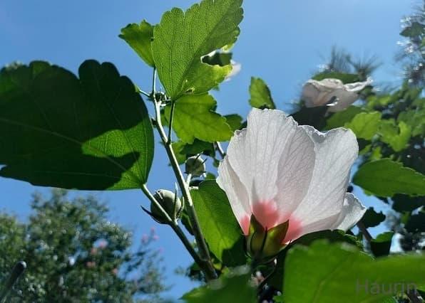 空とムクゲの花