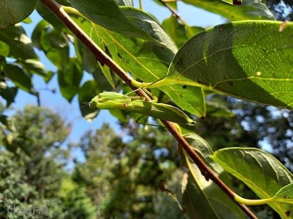 柿の葉っぱにいるカマキリ