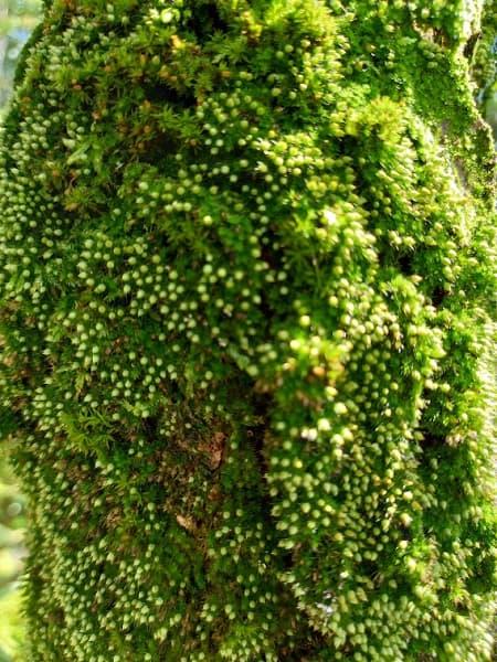 梅の幹に生えた苔