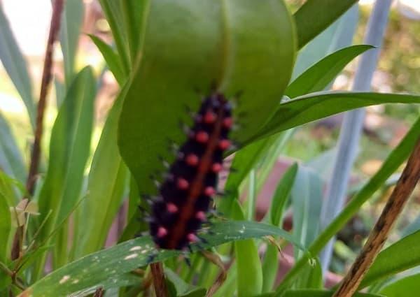 ツマグロヒョウモンの幼虫(ケムシ)