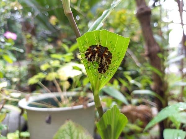 ルリタテハの幼虫