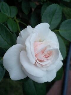 妻の愛したバラ達ー2アスピリンローズ
