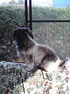 ソファーにのぼってオカンを迎える犬。
