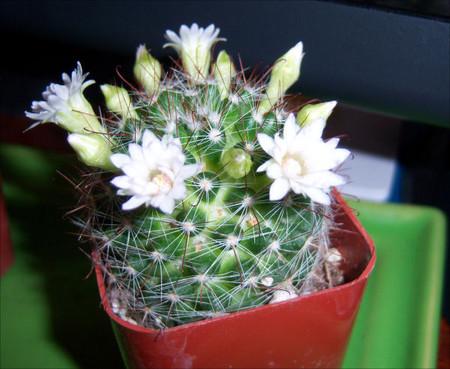 サボテンの花の咲いたの
