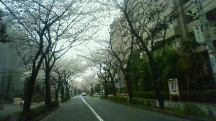 一日休んだだけで桜が満開になっとる。すぷりんぐはずかむ。ドリ ー