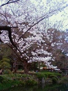 桜@日比谷公園。曇ってしまって残念…。