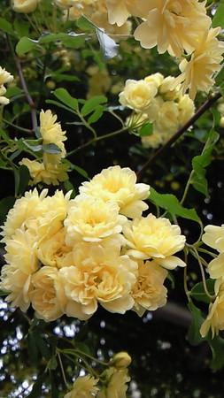 バラのアップ。全体図だと黄色とんじゃう(´ω`)