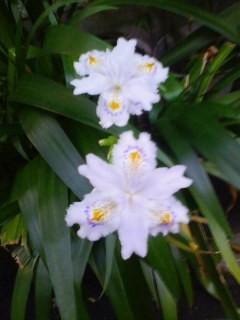 近所のお婆ちゃんにもらった花。シャカっ て名前らしい。