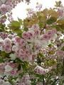 公園の八重桜が満開だ