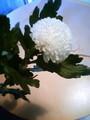 母の日に菊もらった!