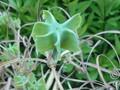 薬草園一通り周った。こんな植物も有った。