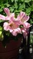 アルストロメリア咲いた。とんでもなくピンクではずかしい。