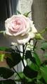 バラ咲いたけど、鉢落としたせいで色薄い!