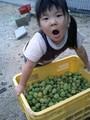 本日は梅の収穫。梅干し用。つばがわいてきた