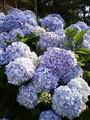 紫陽花があまりにも綺麗に咲いていたので