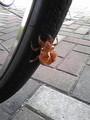 [帰宅途中] 自転車のタイヤにしがみつきながら羽化したらしい。どっから這って