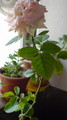 花が限界でふよふよしてきたので収穫しました。食べる。嘘、食べ な